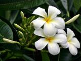 plumerias by jeenie11, Photography->Flowers gallery