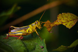 Grasshopper by Eubeen, photography->insects/spiders gallery