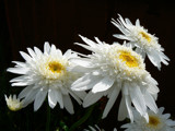 Smiling Daisies by LynEve, Photography->Flowers gallery