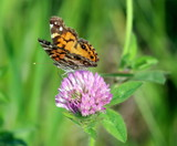Red Clover All Over by Pistos, photography->butterflies gallery