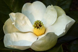 june magnolia 1 by jeenie11, Photography->Flowers gallery
