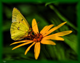 Cloudless Sulphur by tigger3, photography->macro gallery