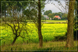 Riping Rapeseed by corngrowth, photography->landscape gallery