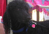 Stoic Poodle by J_Fonze, Photography->Pets gallery
