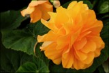 Tuberous Begonia 9 by LynEve, photography->flowers gallery
