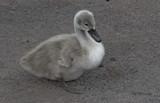 Pale Cygnet by gonedigital, photography->birds gallery
