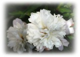 Paeony by LynEve, photography->flowers gallery