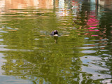 swimming to meet you by endless, Photography->Birds gallery