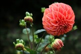 In The Dahlia Garden #19 Bloom With Buds by LynEve, photography->flowers gallery