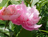 Old Fashioned Peonies by trixxie17, photography->flowers gallery