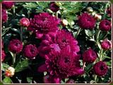 Deep Purple by trixxie17, photography->flowers gallery