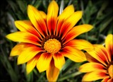 Sunny Gazania by LynEve, photography->flowers gallery