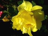 Yeller by rriesop, Photography->Flowers gallery