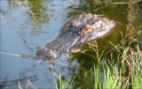 Bayou Gator II by allisontaylor, Photography->Reptiles/amphibians gallery