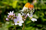 Orange Tip by rozem061, Photography->Butterflies gallery