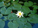 WaterLily by indian, photography->flowers gallery