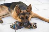 Diego - German Shepherd - Falling asleep by johnnyweissmueller, photography->pets gallery