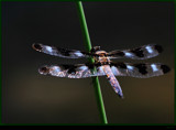Double Winged Flyer by tigger3, photography->insects/spiders gallery
