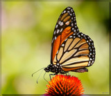 The Monarch Butterfly #2 by tigger3, photography->butterflies gallery