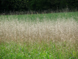 Summer Wheat Treat by Hottrockin, photography->landscape gallery