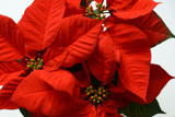 A Christmas Favorite by jerseygurl, photography->flowers gallery