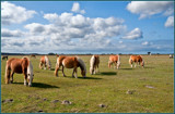 Zeeland Wild Horses 10, Having Breakfast by corngrowth, photography->animals gallery