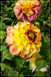 Dahlia Show 12 by corngrowth, photography->flowers gallery