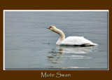 Mute Swan 2 by gerryp, Photography->Birds gallery
