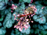 Coral Bell Dragon by PhotoSynthesis, Photography->Butterflies gallery