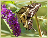 Fluttery by cynlee, photography->butterflies gallery