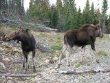 MOOSE 3 by picardroe, photography->animals gallery