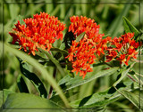 Air Station Prairie - Butterfly Milkweed by trixxie17, photography->flowers gallery