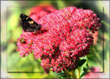 Sedum Autumn Joy with visitors by LynEve, photography->flowers gallery