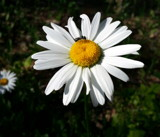 A Daisy All to Myself by Pistos, photography->flowers gallery