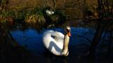 NESTING SWANS by LANJOCKEY, Photography->Birds gallery
