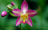 Singapore Orchid Gardens 8 by Samatar, Photography->Flowers gallery