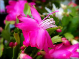 Christmas Cactus by trixxie17, photography->flowers gallery