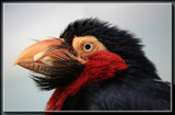 Bearded Barbet by Jimbobedsel, photography->birds gallery
