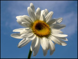 Daisy by foofoo, Photography->Flowers gallery