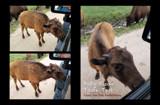 Baby Bison Taste Test by Nikoneer, photography->animals gallery