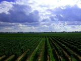 Vinyard by incommon, Photography->Landscape gallery