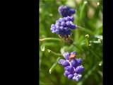Plenty of Nectar to go Around! by wheedance, Photography->Flowers gallery