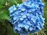 Blue Hydrangea by katsmeoww, Photography->Flowers gallery