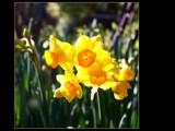 Joyful Jonquil by LynEve, Photography->Flowers gallery