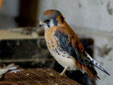 Kestrel Falcon 1 by gerryp, Photography->Birds gallery