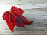 A Single Red Leaf by Pistos, photography->nature gallery