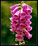 Garden Flower Series: Digitalis by verenabloo, Photography->Flowers gallery