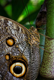 Owl Butterfly by PhilipCampbell, photography->butterflies gallery