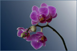 Orchids on Friday by Ramad, photography->flowers gallery