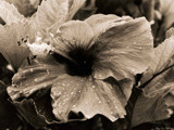 Hibiscus After the Rain by Sugafox128, contests->curves gallery
